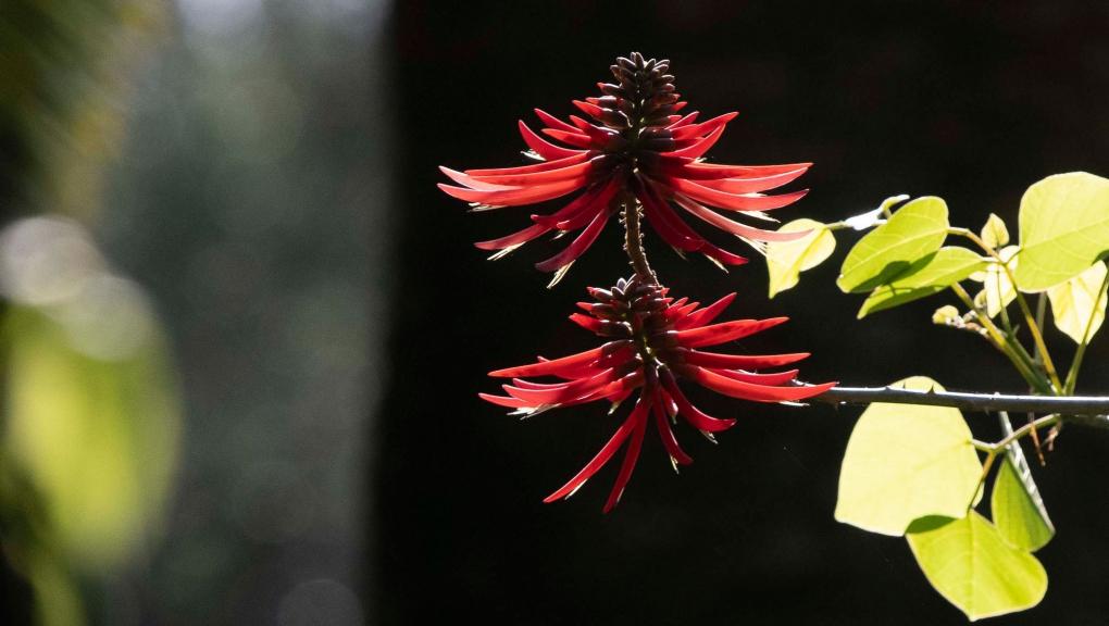 Arbre corail (Erythrina americana) - Jardin botanique Val Rahmeh-Menton © MNHN - Agnès Iatzoura