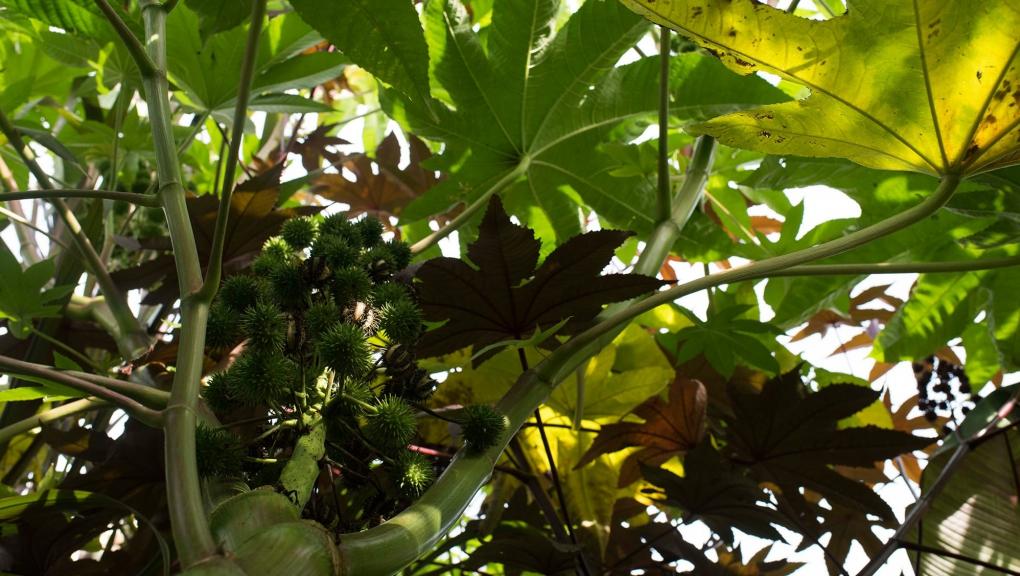 Ricin commun (Ricinus communis) - Jardin botanique Val Rahmeh-Menton © MNHN - Agnès Iatzoura