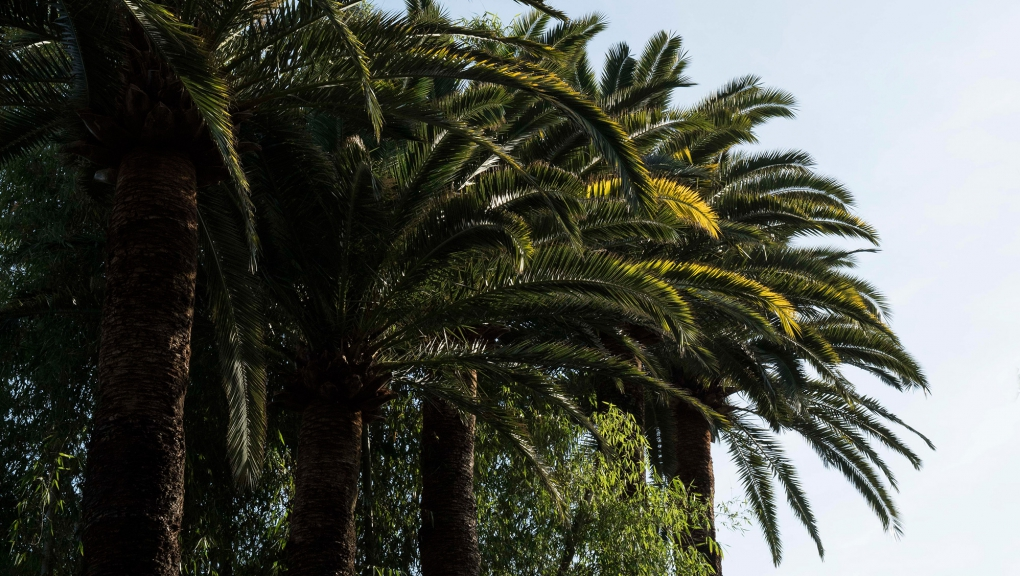 Palmier des Canaries (Phoenix canariensis) - Jardin botanique Val Rahmeh-Menton © MNHN - Agnès Iatzoura