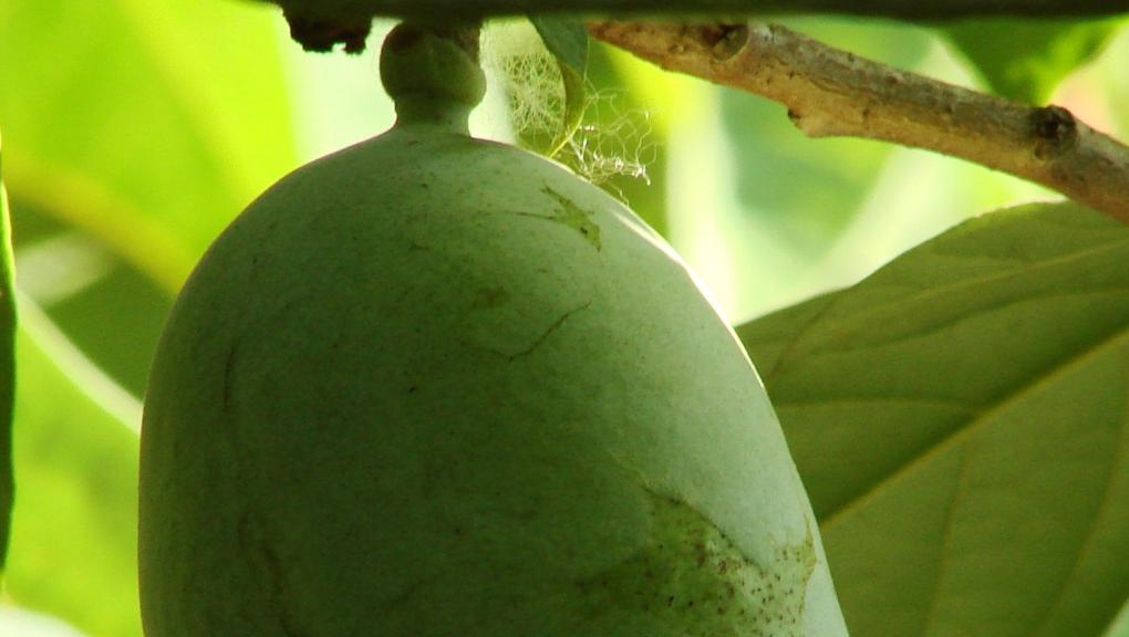 Asiminier (Asimina triloba) - Jardin botanique Val Rahmeh-Menton © MNHN - Christophe Joulin