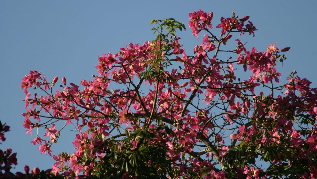Faux kapokier (Ceiba speciosa) - Jardin botanique Val Rahmeh-Menton © MNHN - Christophe Joulin