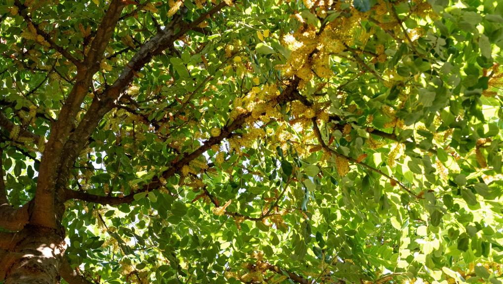 Caroubier (Ceratonia siliqua) - Jardin botanique Val Rahmeh-Menton © MNHN - Agnès Iatzoura