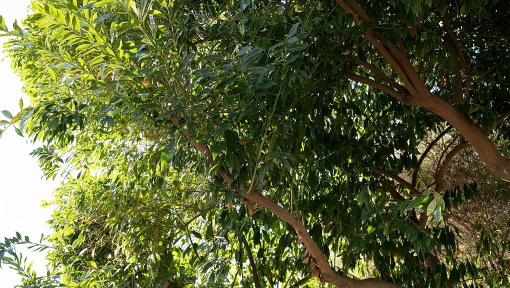 Arbre escargot à feuilles de laurier (Cocculus laurifolius) - Jardin botanique Val Rahmeh-Menton © MNHN - Agnès Iatzoura