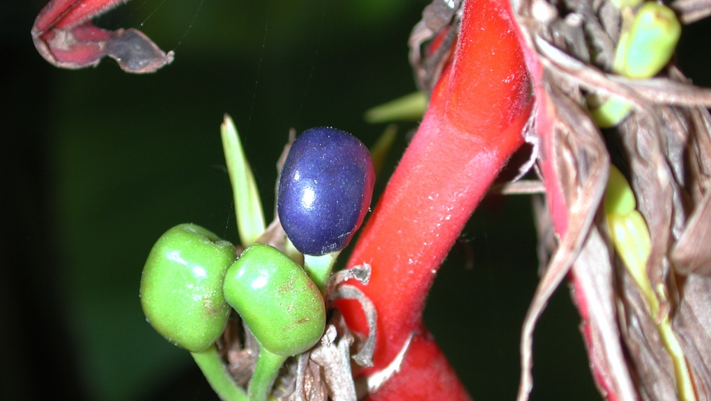 Balisier (<em>Heliconia schiedeana</em>) - Jardin botanique Val Rahmeh-Menton © MNHN - Christophe Joulin
