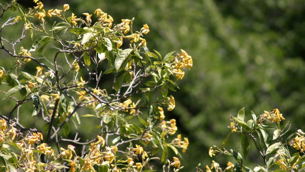 Frangipanier australien (<em>Hymenosporum flavum</em>) - Jardin botanique Val Rahmeh-Menton © MNHN - Christophe Joulin