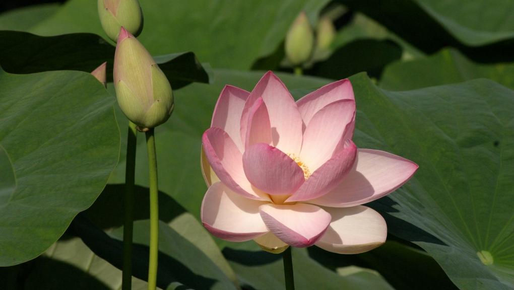 Lotus sacré (Nelumbo nucifera) - Jardin botanique Val Rahmeh-Menton © MNHN - Christophe Joulin