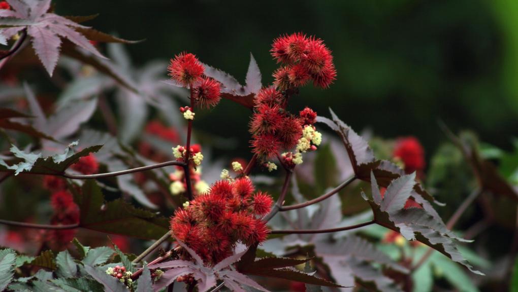 Ricin commun (Ricinus communis) - Jardin botanique Val Rahmeh-Menton © MNHN - Christophe Joulin