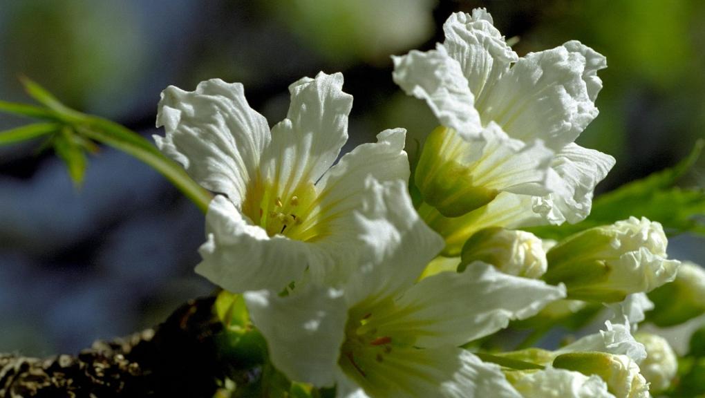 Xanthoceras à feuilles de sorbier (Xanthoceras sorbifolium) - Jardin botanique Val Rahmeh-Menton © MNHN - Michel Morin