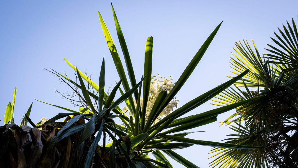 Yucca géant (Yucca gigantea) - Jardin botanique Val Rahmeh-Menton © MNHN - Agnès Iatzoura