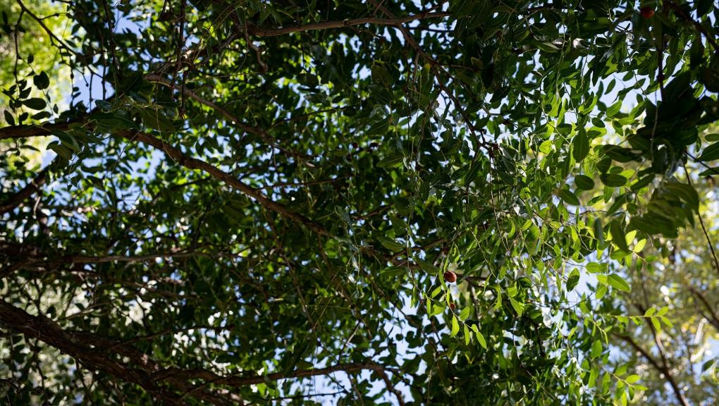 Jujubier commun (Ziziphus jujuba) - Jardin botanique Val Rahmeh-Menton © MNHN - Agnès Iatzoura