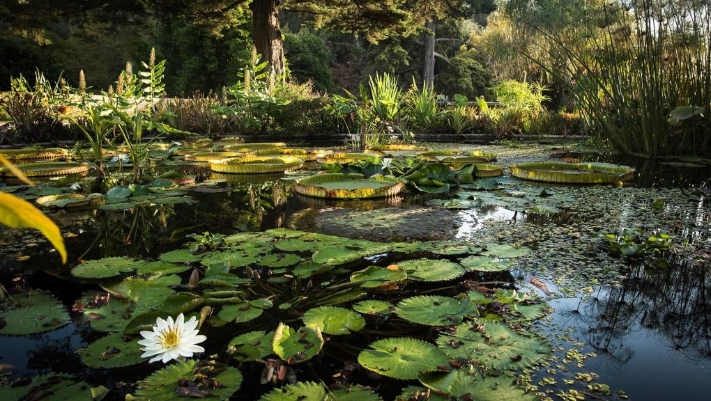 Nymphaea 'Missouri' - Jardin botanique Val Rahmeh-Menton © MNHN - Agnès Iatzoura
