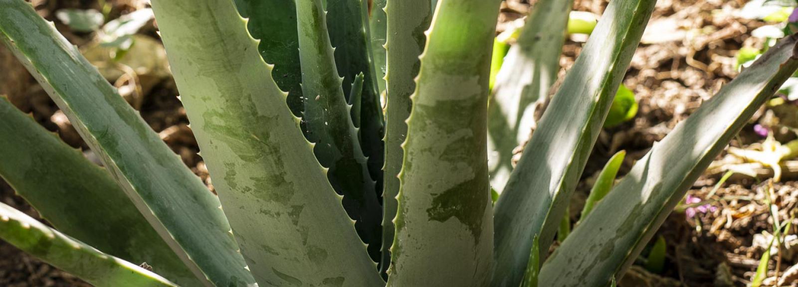 Aloes vrai (Aloe vera) - Jardin botanique Val Rahmeh-Menton © MNHN - Agnès Iatzoura