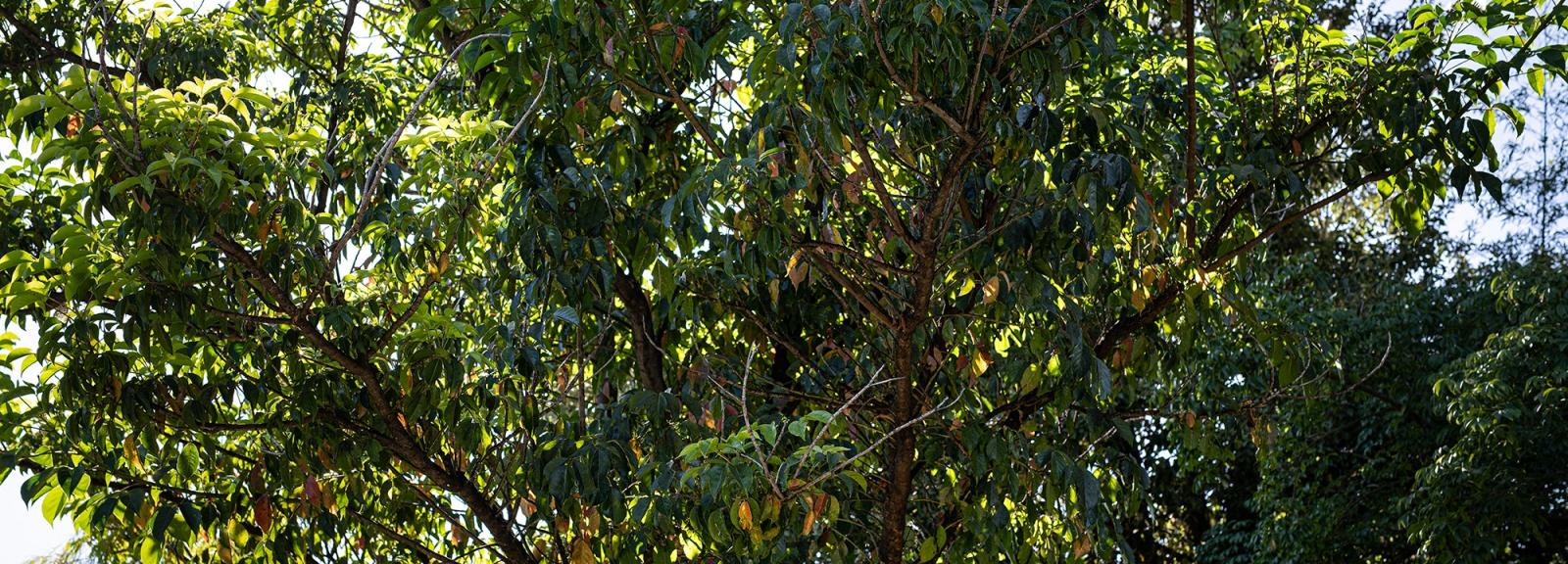 Cèdre de Java (Bischofia javanica) - Jardin botanique Val Rahmeh-Menton © MNHN - Agnès Iatzoura