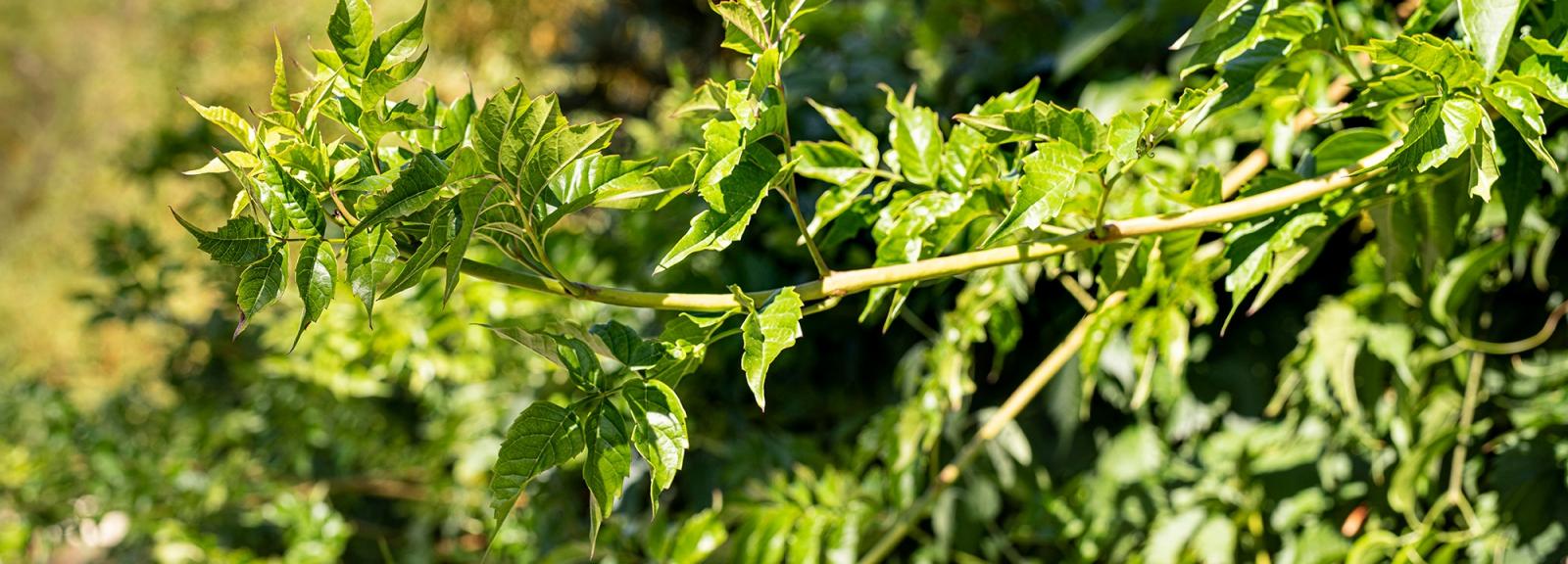Bignone de Virginie (Campsis radicans) - Jardin botanique Val Rahmeh-Menton © MNHN - Agnès Iatzoura