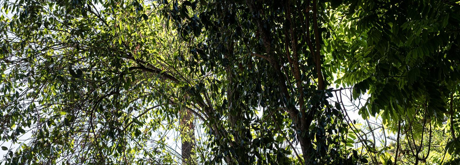 Khat (Catha edulis) - Jardin botanique Val Rahmeh-Menton © MNHN - Agnès Iatzoura