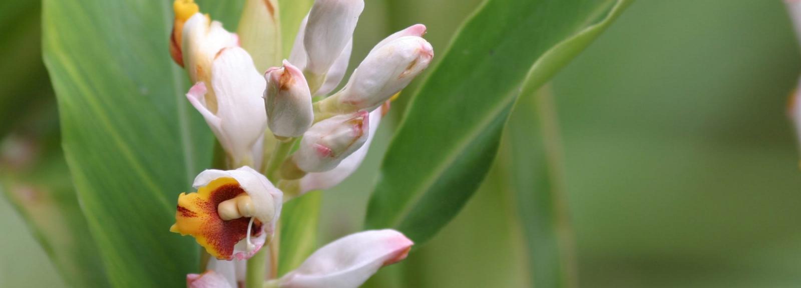 Cardamone (Elettaria cardamomum) - Jardin botanique Val Rahmeh-Menton © MNHN - Christophe Joulin