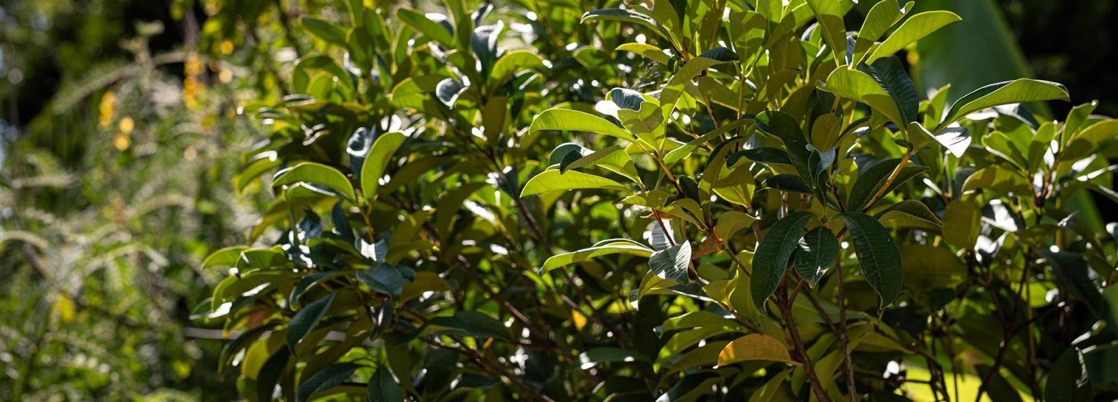 Cerisier du Brésil (Eugenia brasiliensis) - Jardin botanique Val Rahmeh-Menton © MNHN - Agnès Iatzoura