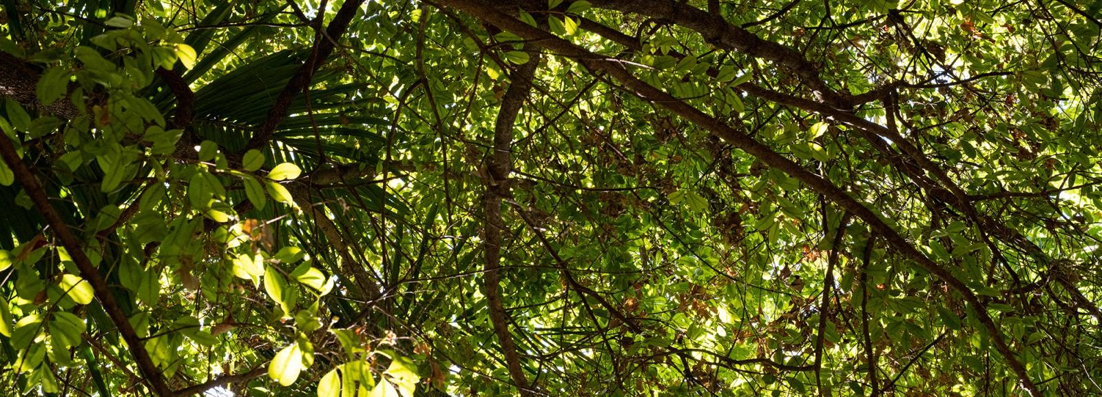 Brush cherry (Eugenia myrtifolia) - Jardin botanique Val Rahmeh-Menton © MNHN - Agnès Iatzoura