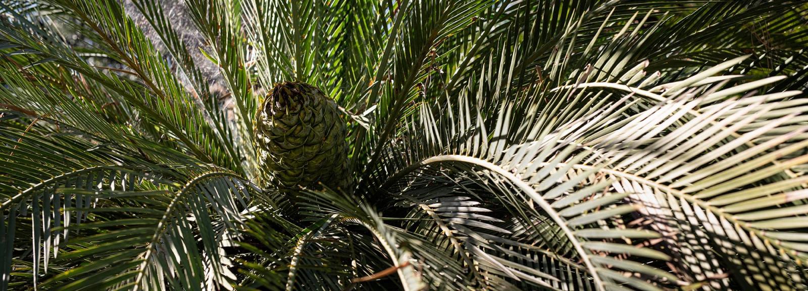 Macrozamia moorei - Jardin botanique Val Rahmeh-Menton © MNHN - Agnès Iatzoura