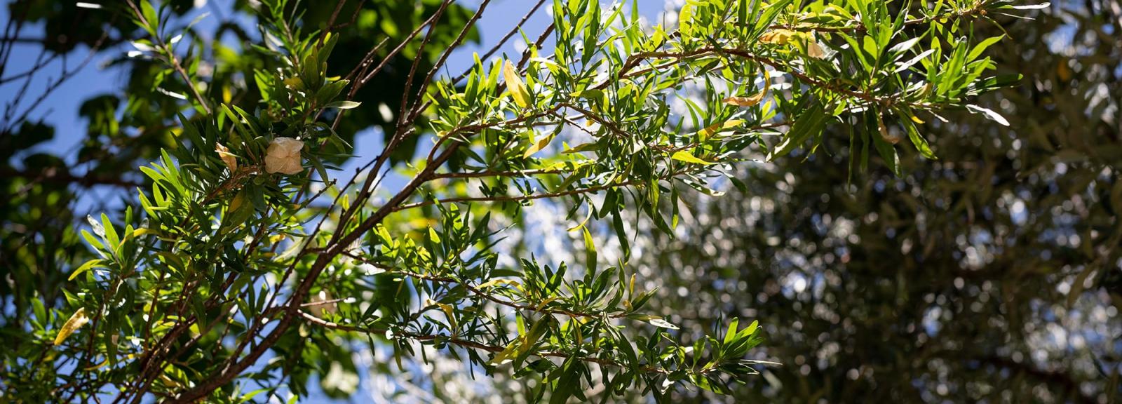 Lanternes chinoises (Nymania capensis) - Jardin botanique Val Rahmeh-Menton © MNHN - Agnès Iatzoura