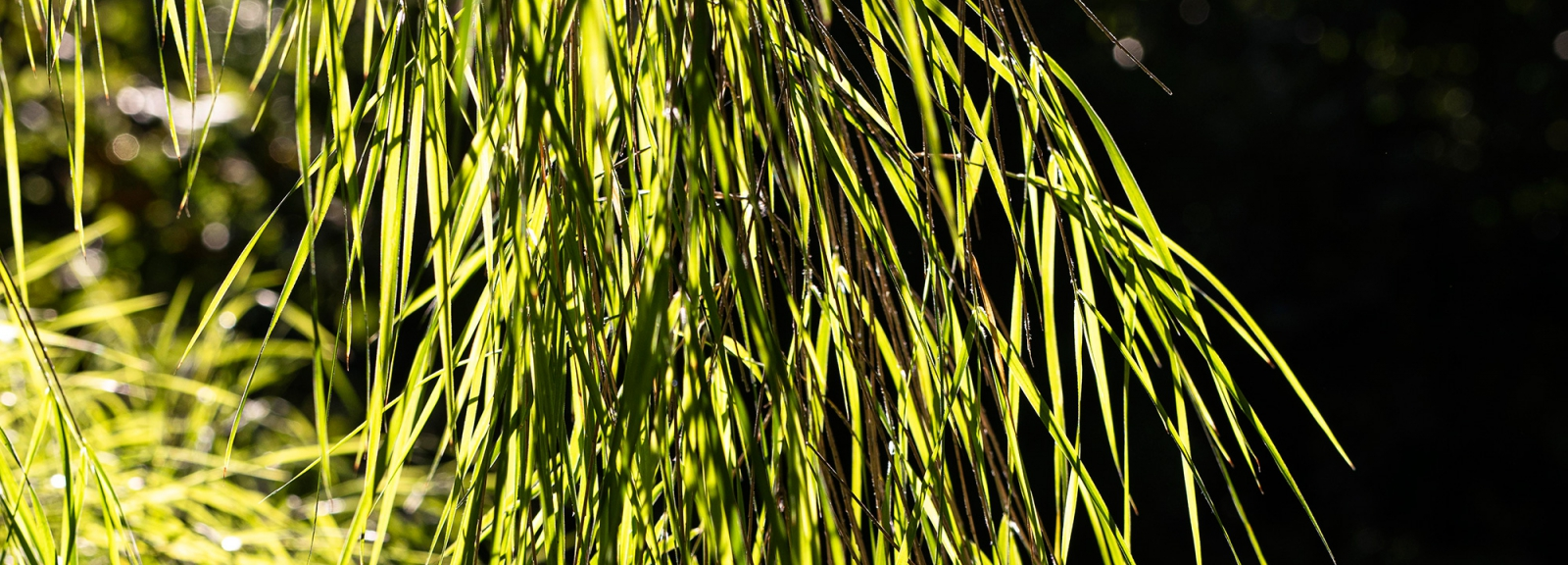Bambou pleureur mexicain (Otatea acuminata) - Jardin botanique Val Rahmeh-Menton © MNHN - Agnès Iatzoura