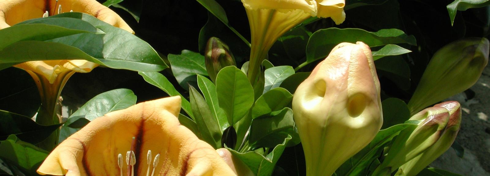 Liane trompette (Solandra maxima) - Jardin botanique Val Rahmeh-Menton © MNHN - Christophe Joulin
