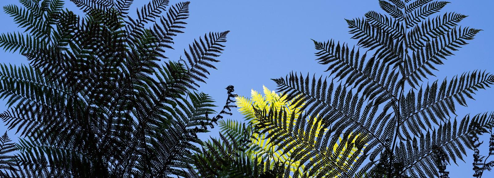 Fougère arborescente d'Australie (Sphaeropteris cooperi) - Jardin botanique Val Rahmeh-Menton © MNHN - Agnès Iatzoura