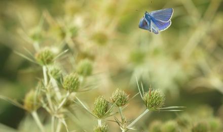Argus bleu en vol © Ghislain Simard