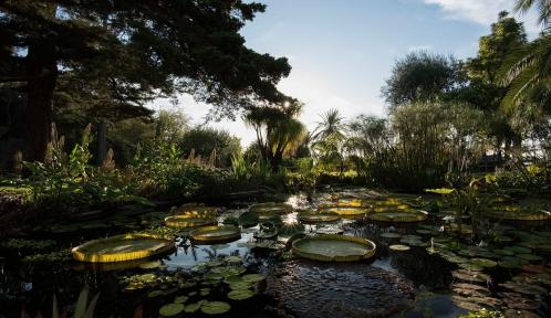 Victoria du Parana (Victoria cruziana) - Jardin botanique Val Rahmeh-Menton © MNHN - Agnès Iatzoura