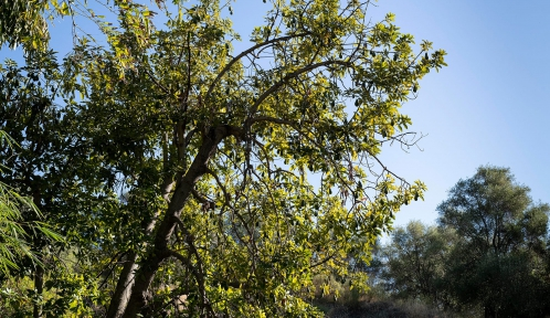 Avocatier (Persea americana) - Jardin botanique Val Rahmeh-Menton © MNHN - Agnès Iatzoura