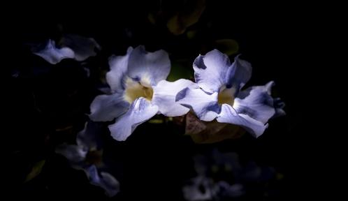 Thunbergia à grandes fleurs (Thunbergia grandiflora) - Jardin botanique Val Rahmeh-Menton © MNHN - Agnès Iatzoura