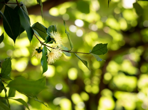Eugenia uruguayensis Cambess - Jardin botanique Val Rahmeh-Menton © MNHN - Agnès Iatzoura