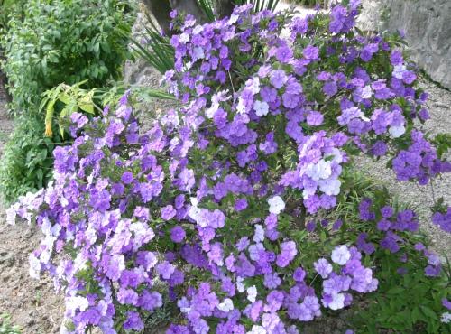 Hier, Aujourd'hui et Demain (Brunfelsia pauciflora) - Jardin botanique Val Rahmeh-Menton © MNHN - Christophe Joulin