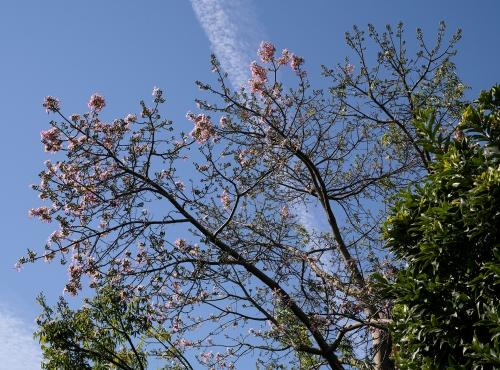 Faux kapokier (Ceiba speciosa) - Jardin botanique Val Rahmeh-Menton © MNHN - Agnès Iatzoura