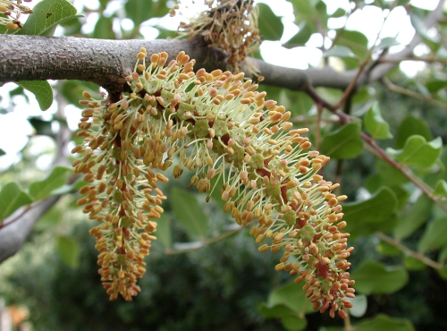 Caroubier (Ceratonia siliqua) - Jardin botanique Val Rahmeh-Menton © MNHN - Christophe Joulin