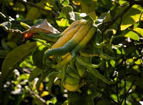Main de Bouddha (Citrus medica) - Jardin botanique Val Rahmeh-Menton © MNHN - Agnès Iatzoura