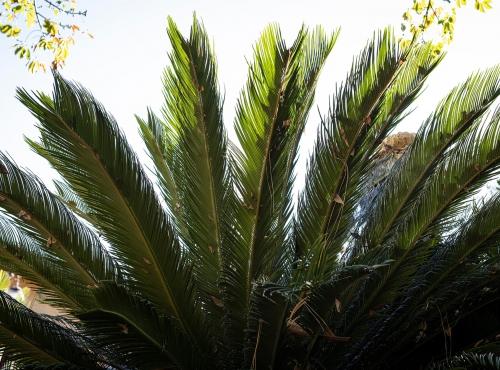 Sagou du Japon (Cycas revoluta) - Jardin botanique Val Rahmeh-Menton © MNHN - Agnès Iatzoura