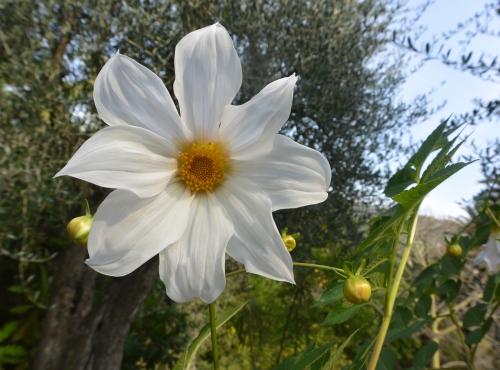 Dahlia imperial (Dahlia imperialis) - Jardin botanique Val Rahmeh-Menton © MNHN - Christophe Joulin