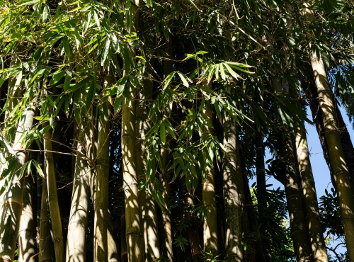 Bambou géant (Dendrocalamus asper) © MNHN - Agnès Iatzoura