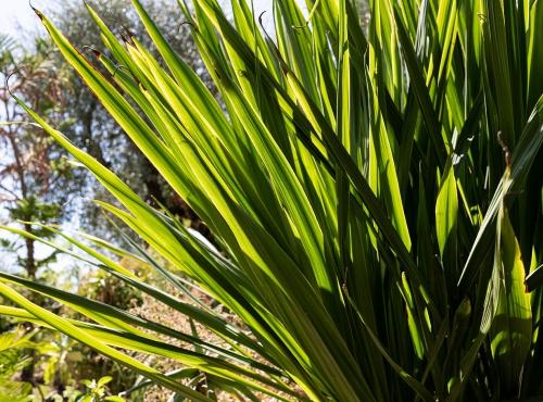 Doryanthes de Palmer (Doryanthes palmeri) - Jardin botanique Val Rahmeh-Menton © MNHN - Agnès Iatzoura