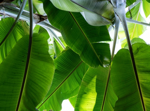 Bananier fruitier (Musa balbisiana) - Jardin botanique Val Rahmeh-Menton © MNHN - Agnès Iatzoura