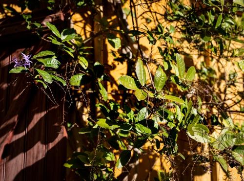 Pétrée (Petrea volubilis) - Jardin botanique Val Rahmeh-Menton © MNHN - Agnès Iatzoura