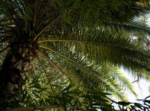 Dattier du Sénégal (Phœnix reclinata) - Jardin botanique Val Rahmeh-Menton © MNHN - Agnès Iatzoura