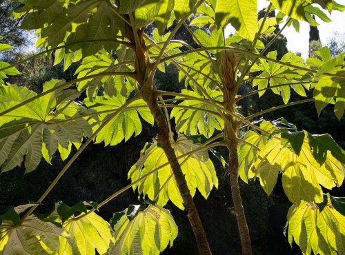 Arbre à papier de riz (Tetrapanax papyrifer) - Jardin botanique Val Rahmeh-Menton © MNHN - Agnès Iatzoura