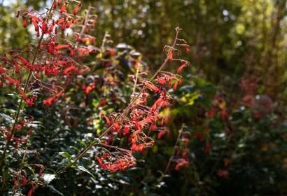 Fuchsia du Cap (Phygelius capensis) - Jardin botanique Val Rahmeh-Menton © MNHN - Agnès Iatzoura