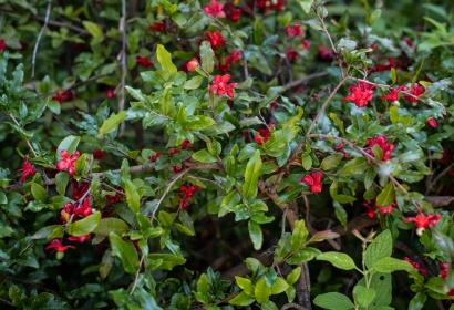 Arbuste de Mickey Mouse (Ochna serrulata) - Jardin botanique Val Rahmeh-Menton © MNHN - Agnès Iatzoura