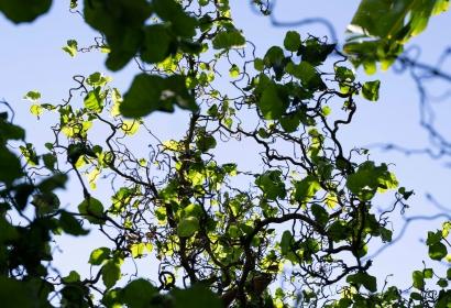 Noisetier (Corylus avellana) - Jardin botanique Val Rahmeh-Menton © MNHN - Agnès Iatzoura