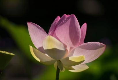 Lotus sacré (Nelumbo nucifera) © MNHN - Agnès Iatzoura