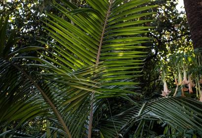 Palmier Bangalow (archontophoenix cunninghamiana) - Jardin botanique Val Rahmeh-Menton © MNHN - Agnès Iatzoura