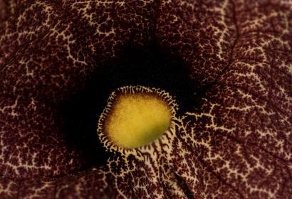 Aristoloche géante (Aristolochia gigantea) - Jardin botanique Val Rahmeh-Menton © MNHN - Agnès Iatzoura